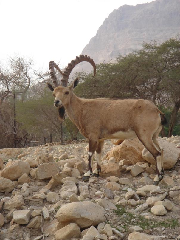 The big boys: massive gazelle buck, guardian of the desert mountains.