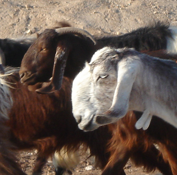 Nubian goats: whom you might see along the way.